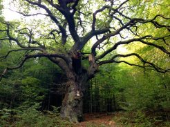 Image: Fairy Tale Tree (550-year-old Oak)