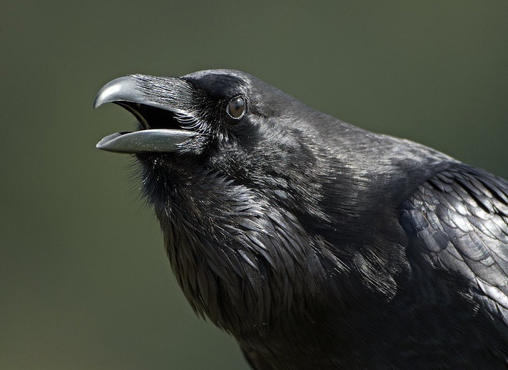 crows and ravens in fantasy