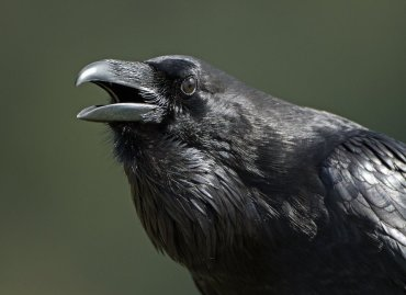 Image: Raven with Beak Open