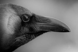 Image: Raven Face