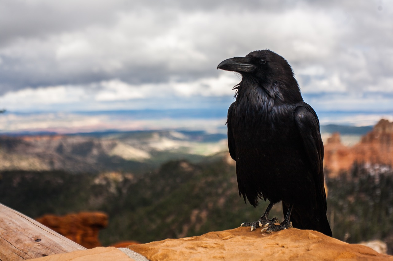 Crows and ravens in fantasy thoughts on fantasy buycottarizona