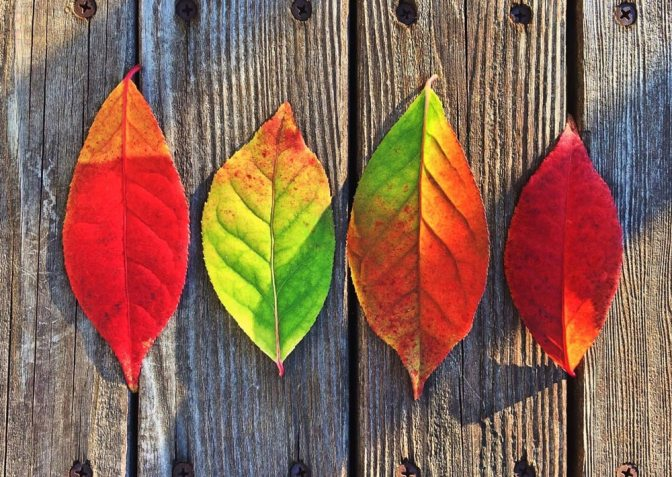 Image: Four Autumn Leaves