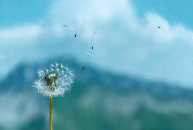 Image: dandelion seeds blowing away